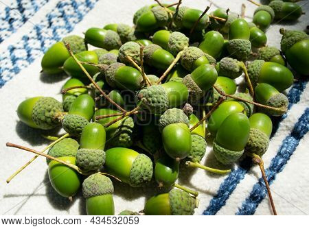 A Scattering Of Green Acorns On A Blanket On A Sunny Summer Day. Green Acorns In The Sun