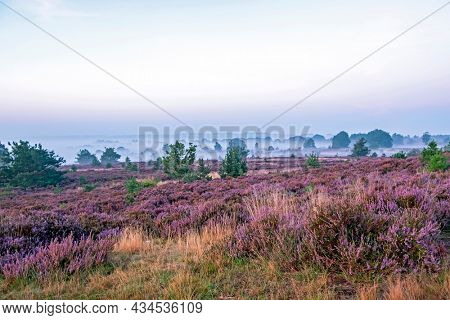 Sunrise in National Park De Hoge Veluwe with blossoming heather in the Netherlands