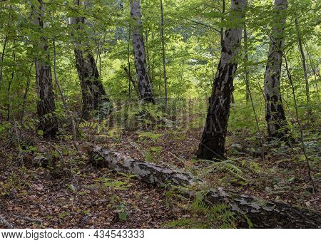A Scene With A Birch Grove And One Fallen Tree, Green Leaves And Ferns In Summer