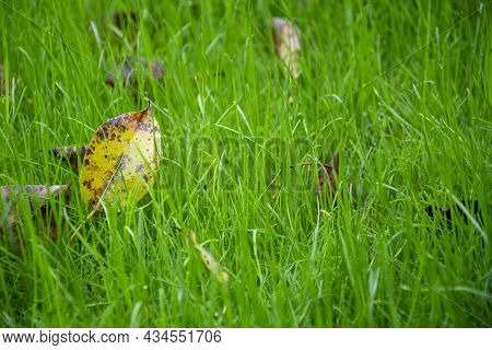 Lawn Grass In Autumn. Fallen Yellow Leaves Lie On Young Green Grass.