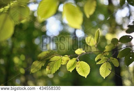 Green Leaves In Forest. Background With Green Leaves And Bokeh Sparkle