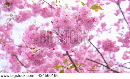 Pink Sakura Flowers On A Tree Branch, Blooming Sakura, Cherry Blossom. Spring Cherry Blossoms.