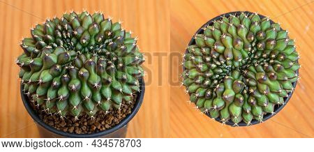 Cristata Cactus, Gymnocalycium Mihanovichii Is A Type Of Cactus Or Succulents Tree That Is Bred From