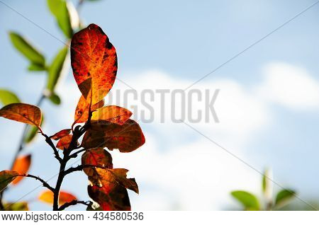 Surface Texture Of Yellow And Burgundy Leaves On Blurred Background Of Green Leaves And Blue Sky. Au