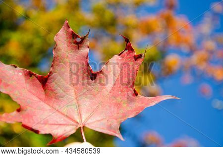 Surface Texture Of Red And Green Maple Leaf On Blurred Background Of Colorful Foliage And Blue Sky.