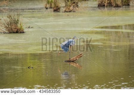 Adult Blue Heron Standing On A Log Stretching Out Its Large Blue Feathers With Its Talons In The Air