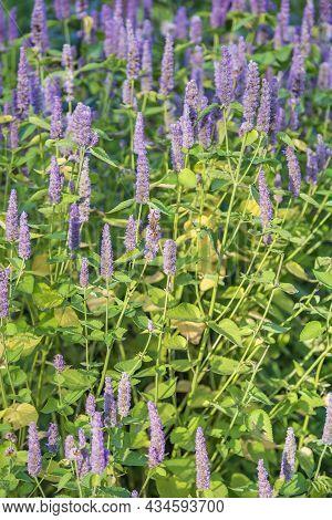 Bright Summer Bloom Of Fresh Purple Fennel