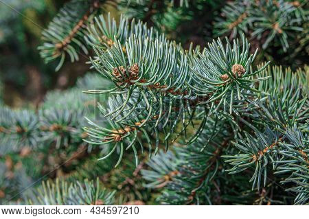 Spruce Branch With Green Needles On A Sunny Day, Fluffy Green Spruce Branch