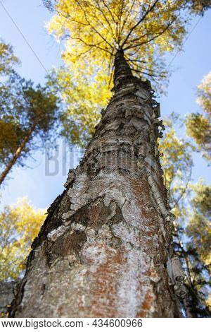 The Trunk Of A Tree Extending Into The Sky. Tall Birches. Crown Of Trees Against The Sky.