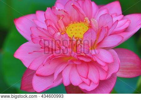 Peony Lotus Flower Close-up,beautiful Pink Peony Lotus Flower Blooming In The Pond