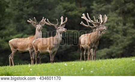 Group Of Red Deer Standing On Grassland In Springtime