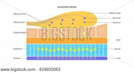Olfactory System Anatomical Poster. Olfactory Nerve, Respiratory Epithelium, Smell Receptors And Neu
