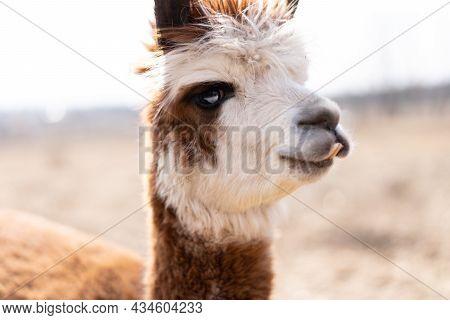 Cute Animal Alpaka Lama On Farm Outdoors With Funny Teeth