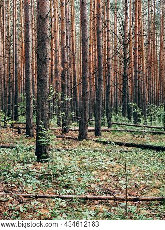 Pine Forest, Landscape, Background. Trunks Of Pine Trees In The Forest, Summer, Day