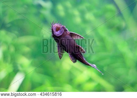 Catfish Sucker, Opens His Mouth. Underwater Life Of Marine Fish.
