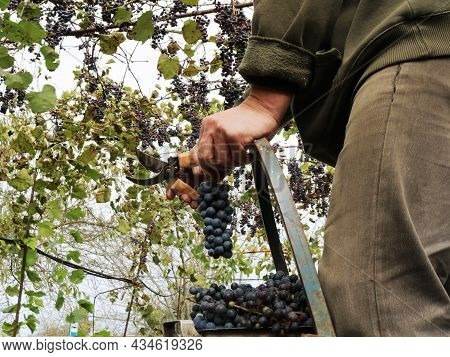 A Farmer Cutting Bunches Of Dark Grapes From A Ladder, Ripe Vines In An Autumn Garden, Harvesting Fr