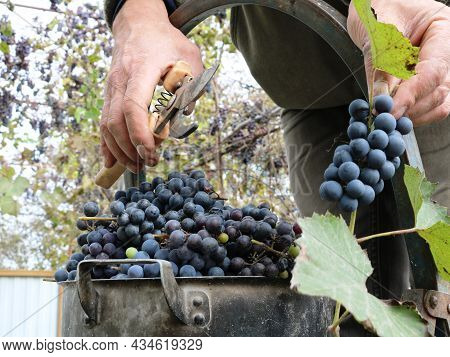 A Farmer On A Stepladder Cuts Bunches Of Dark Grapes With Nippers And Puts The Berries In An Old Pan