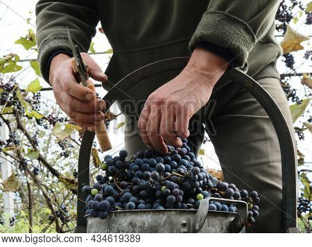 Hand Picking Red Grapes From A Stepladder Close-up, Hands Of A Farmer Cutting Off Ripe Grapes And Pu