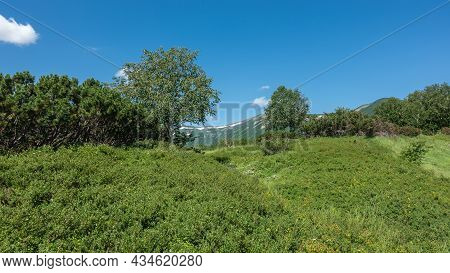 Lush Green Grass, Shrubs, And Trees Grow In The Meadow. Bright Blue Sky With Clouds. Kamchatka. The