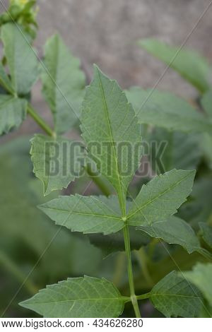Dahlia Blackberry Ripple Leaves - Latin Name - Dahlia Blackberry Ripple