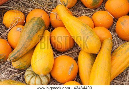 Pumpkins (cucurbita Moschata) Picked