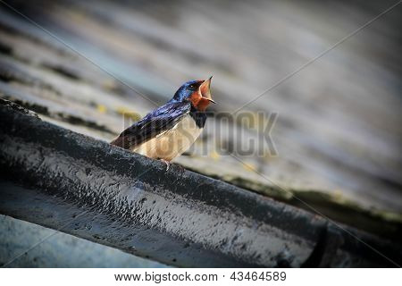 Barn Swallow calling from roof