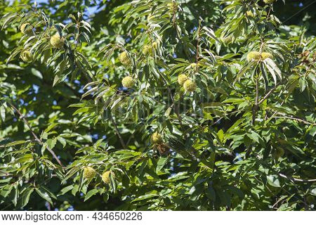 Sweet Chestnut Unripe Fruits. Castanea Sativa Or Spanish Chestnut Tree At The End Of The Summer