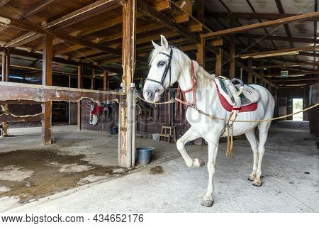 White Horse With A Harness  Standing In A Wooden Stable