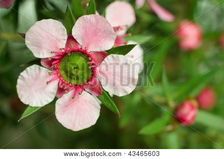 Manuka (leptospermum Scoparium ) Flower