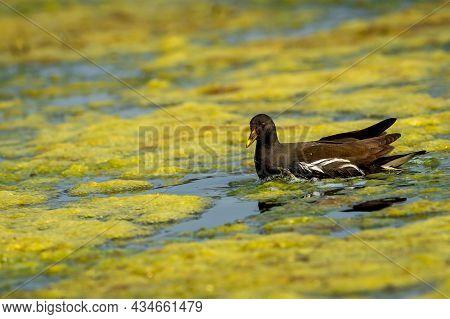 Common Moorhen Or Gallinula Chloropus Bird Portrait Floating In Wetland Of Keoladeo National Park Or