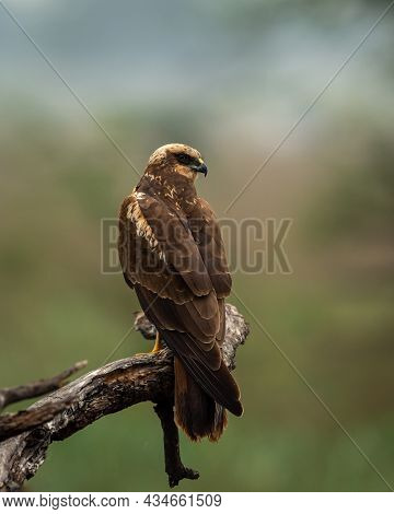 Western Or Eurasian Marsh Harrier Or Circus Aeruginosus Portrait Perched With Natural Green Backgrou