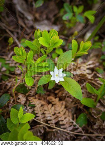 Arctic Starflower. Seven Petalled White Forest Flower. Forest Vegetation. Spring Forest Background.