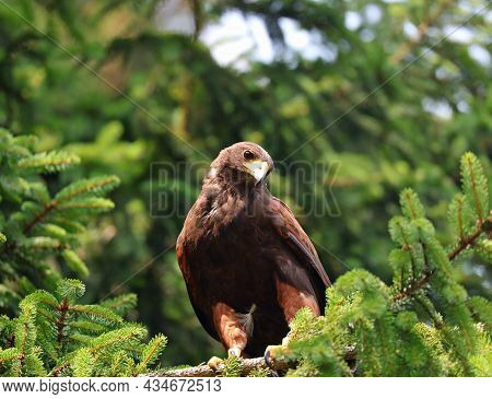 Large Harris Buzzard Perched On The Branch Of A Conifer Waiting For Its Prey