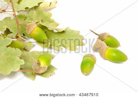 An Oak Nut - Acorn On White Background
