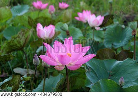 Blooming Sacred Pink Lotus Flowers Or Nelumbo Nucifera In A Pond. Floral Background. Pink Lotus Flow