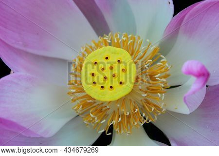 Close Up Of Yellow Carpellary Receptacle Lotus Flower. Pink Lotus Flower Or Nelumbo Nucifera Details