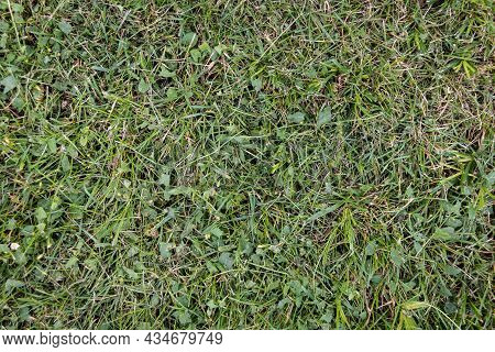 Green Grass Texture For Background. Green Lawn.  Close-up. Sample.