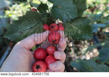 A Hand Plucks Red Hawthorn Berries From A Tree Branch.