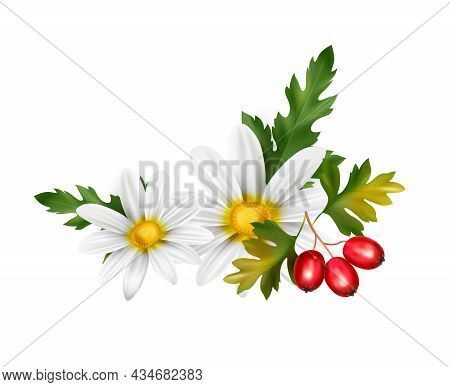 Realistic Healthy Tea Ingredients With Hawthorn And Camomile On White Background Vector Illustration