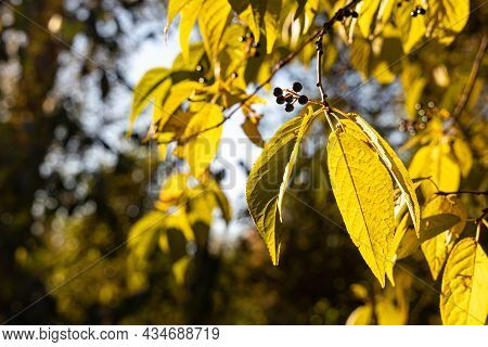 Bird Cherry Tree Or Latin Prunus Maackii Also Padus Maackii With Yellow Leaves Is In Sunny Fall Day