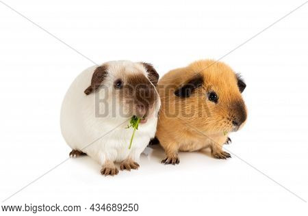 Portrait Of A Two Pet Guinea Pigs Isolated On A White Background