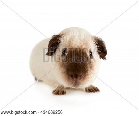 Nice Guinea Pig, One Year Old, Lying Against White Background