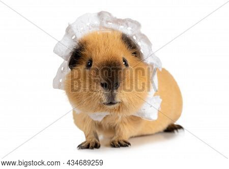 Amusing Red-haired Guinea Pig In A Sleeping Cap Isolated On A White Background