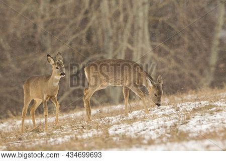 Two Roe Deer Female Grazing On Field During Snowing