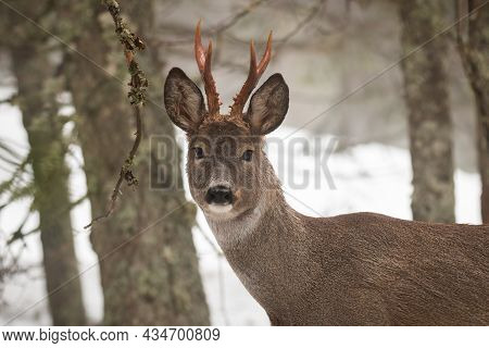 Roe Deer Looking To The Camera In Wintertime Nature