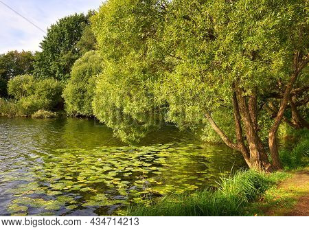 The Lake In The Park. Willow On The Shore, Water Lilies Floating On The Water