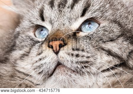 Portrait of blue-eyed male Neva Masquerade Siberian domestic cat