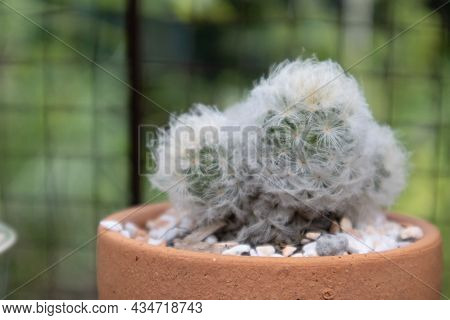 Cactus Cultivated In A Plant Pot As A Hobby.cactus Breeding To Sell In The Market For Potted Plants