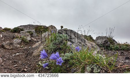 Bright Purple Bluebells Bloom On A Rocky Hill. High-altitude Plants Creep Above The Ground. Stalks O