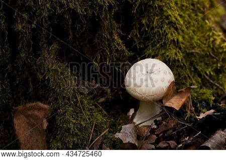 White Fly Agaric Mushroom Or Toadstool At The Forest